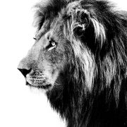Lion black and white isolated on white background ** Note: Visible grain at 100%, best at smaller sizes